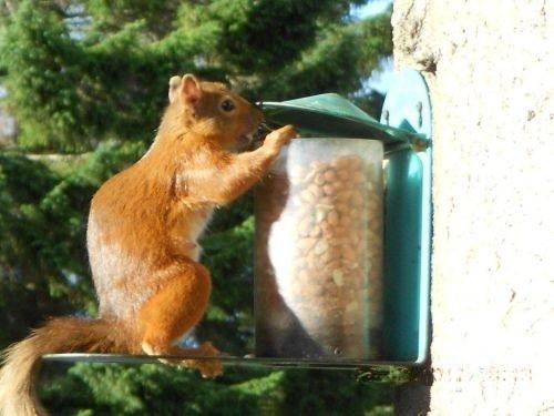 Aberlour Gdns Red Squirrel